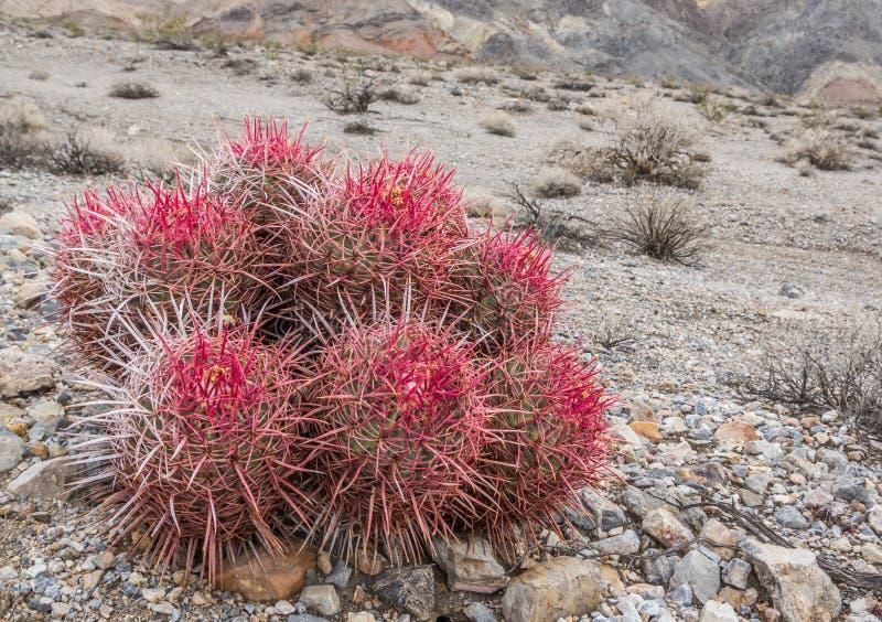 Cacto de tambor no parque nacional de Vale da Morte imagens de stock