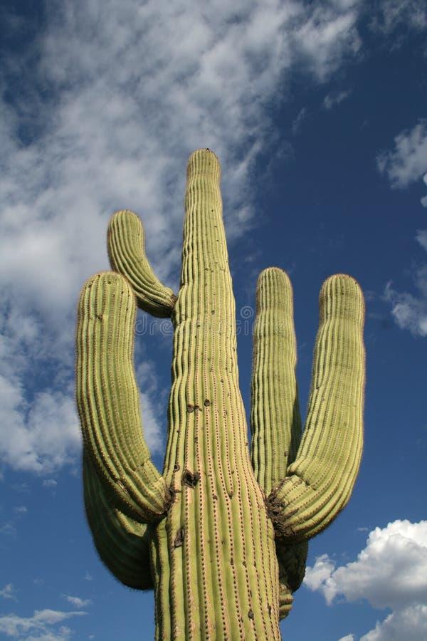Cacto del Saguaro fotos de archivo