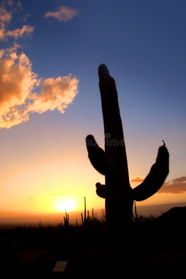 Cacto del Saguaro fotografía de archivo