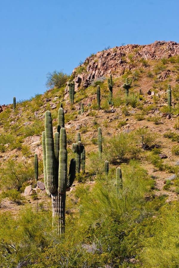 Cacto do deserto e outras plantas foto de stock royalty free