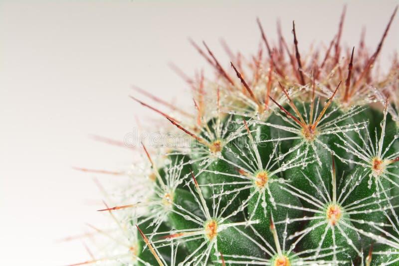 Cacto do Mammillaria fotos de stock