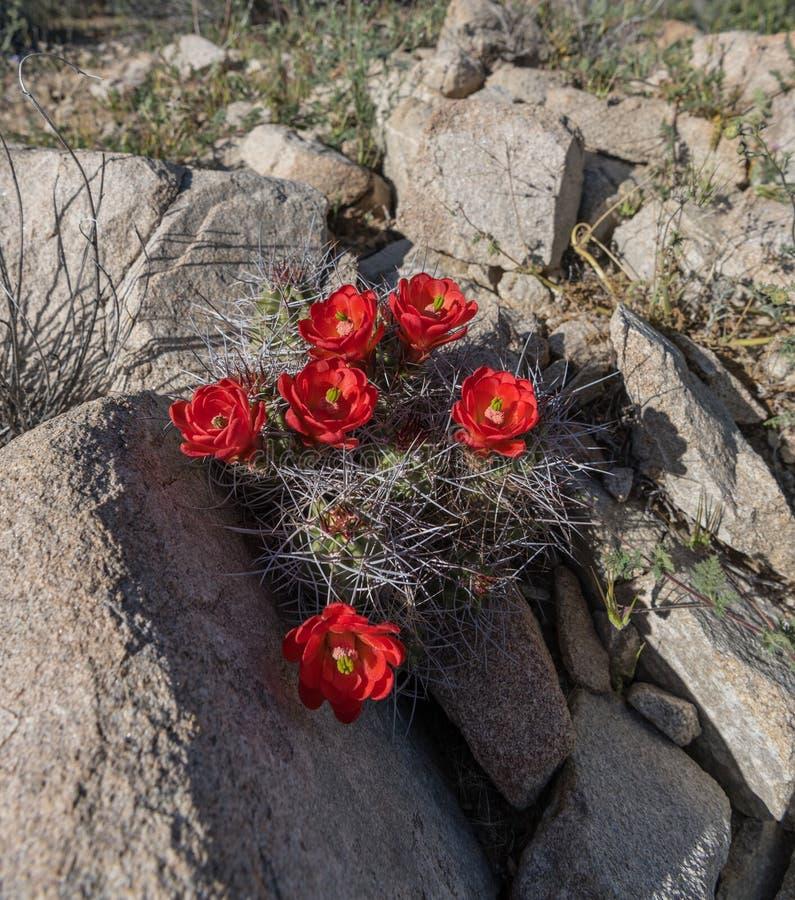 Cacto do ponche Claret firmado em rochas do deserto foto de stock