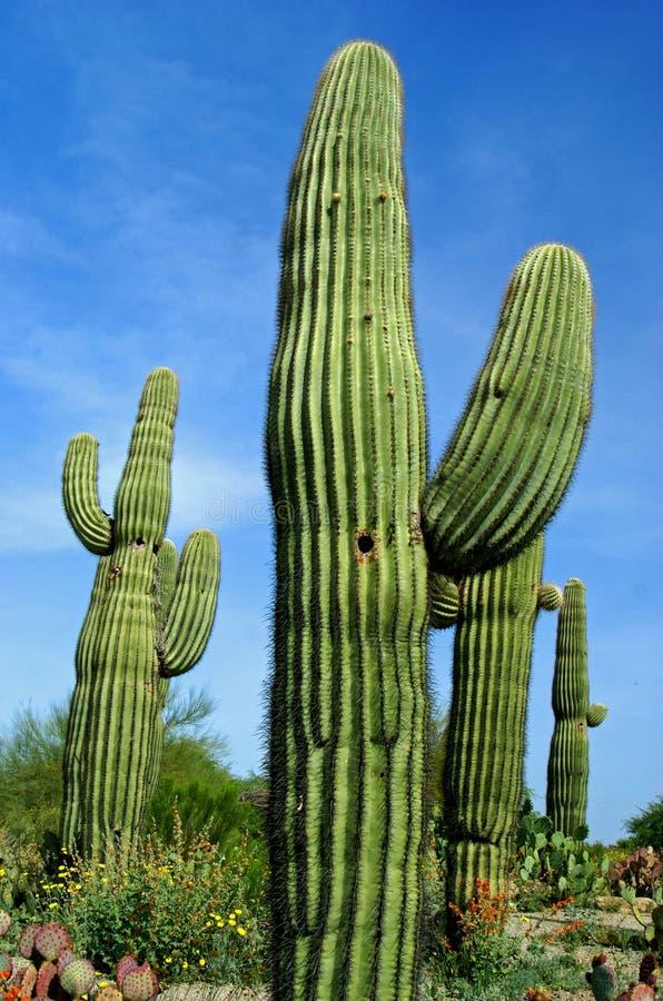 Cacto do Saguaro imagem de stock royalty free