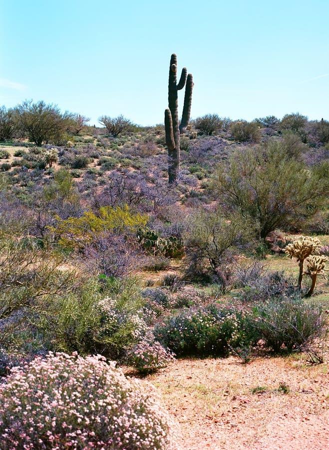 Cacto do Saguaro imagem de stock