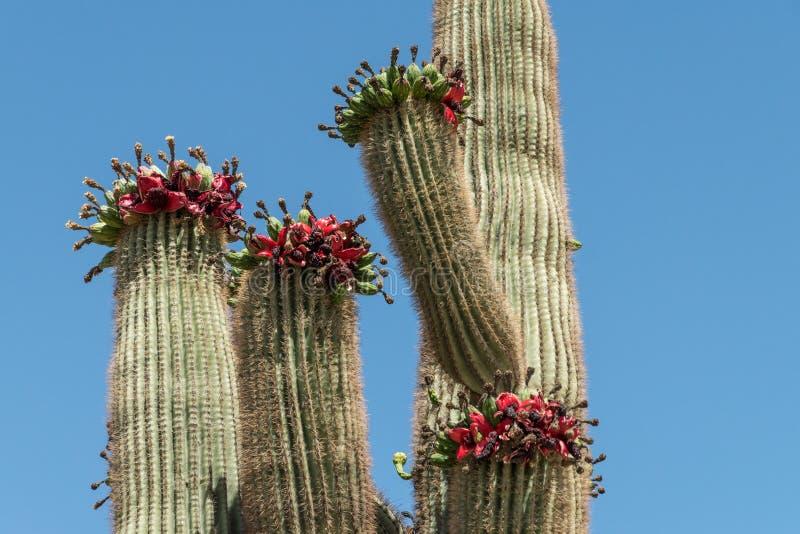 Cacto do Saguaro com fruto vermelho-descarnado contra um céu azul fotografia de stock royalty free
