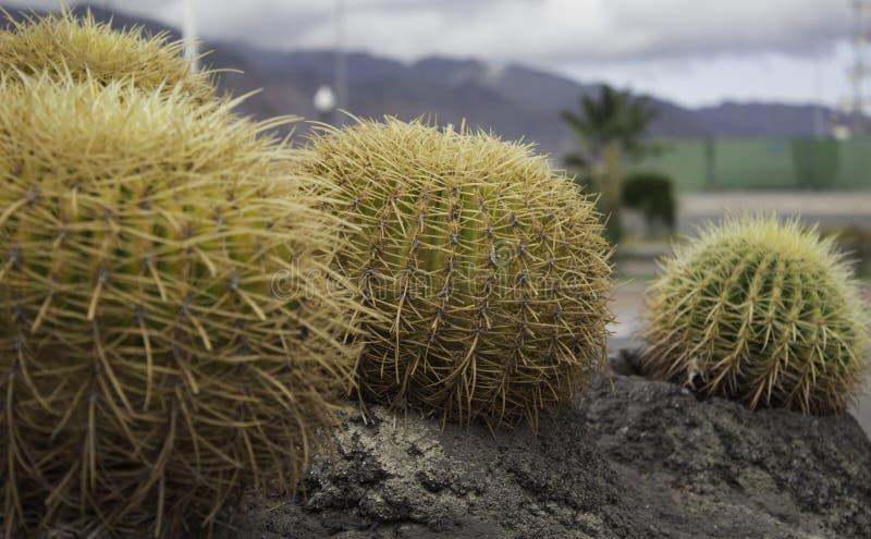Cacto em Tenerife fotos de stock royalty free