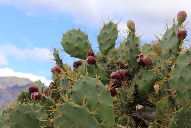 Cacto em Tenerife, Espanha imagem de stock royalty free