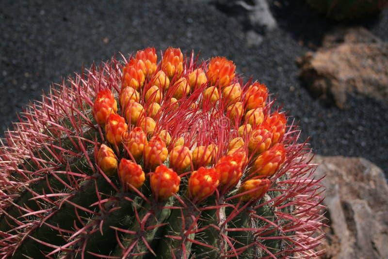 Cacto floreciente, imagen de archivo