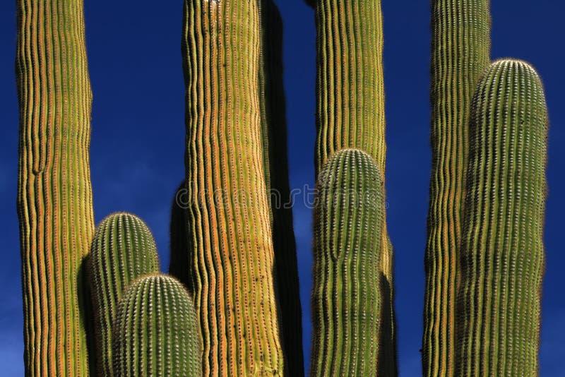 Cacto gigante del Saguaro imagen de archivo libre de regalías