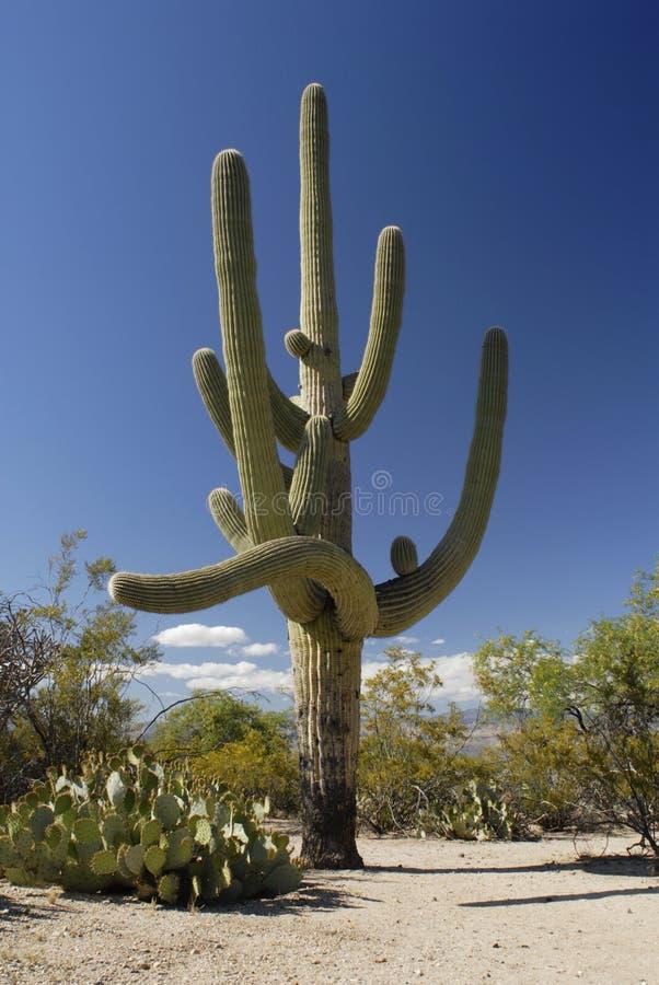 Cacto gigante do Saguaro no deserto de Sonoran imagem de stock