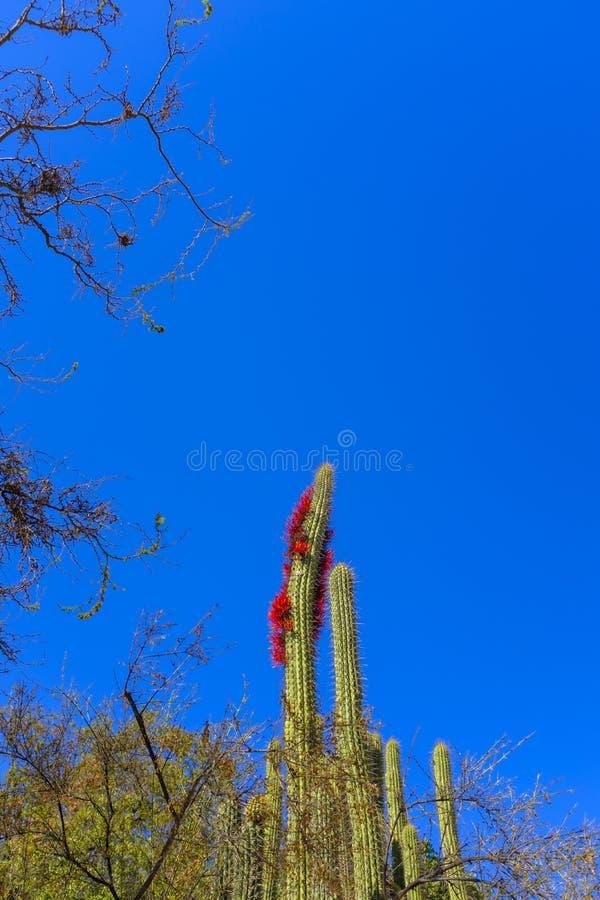 Cacto gigante na flor fotos de stock