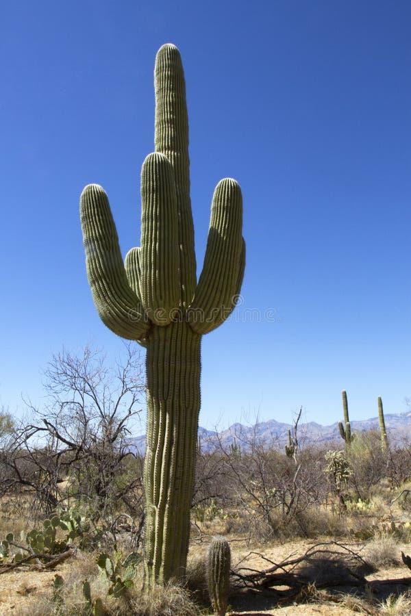 Cacto icônico do Saguaro imagem de stock royalty free