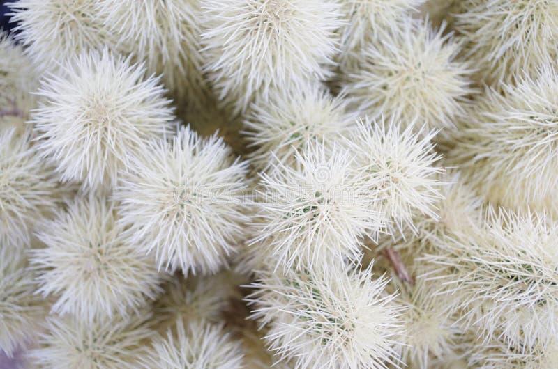 Cacto nativo em Nevada Cactus Nursery imagens de stock