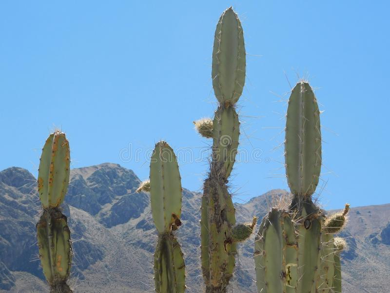 Cacto nos Andes imagens de stock