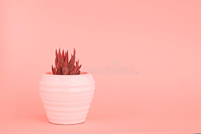 Cacto pequeno potenciômetro branco na cor coral tonificada imagens de stock royalty free