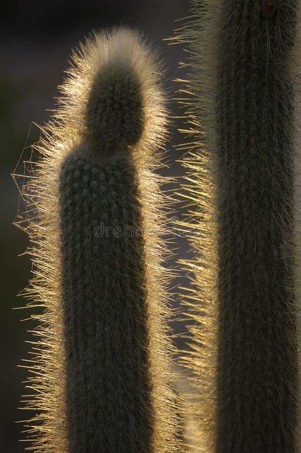 Download Cacto retroiluminado imagem de stock. Imagem de flora, spiky - 104761