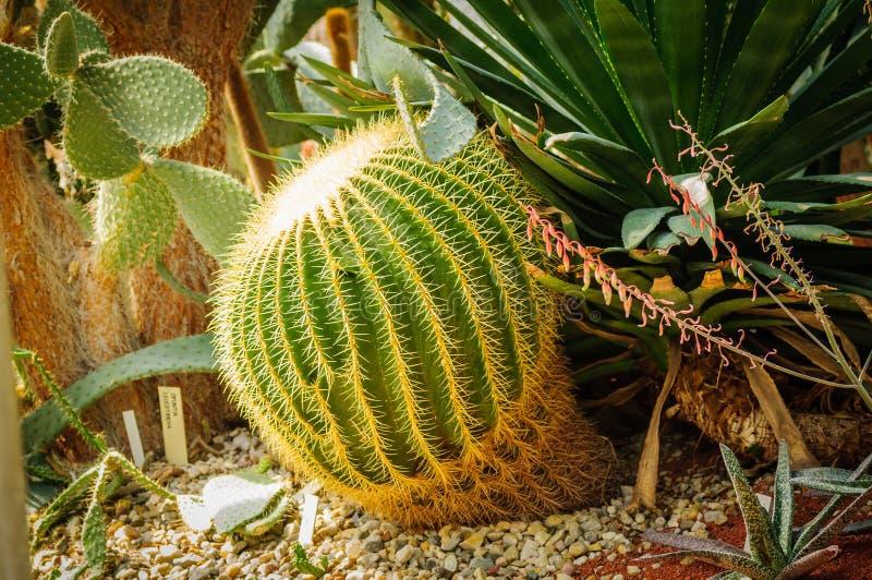 Cacto verde grande da esfera com grande agulhas e aloés e cactos diferentes no fundo fotografia de stock