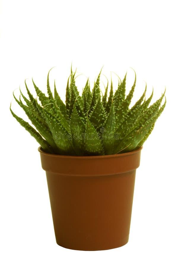 Download Cacto Verde No Fundo Isolado Foto de Stock - Imagem de fundo, jardinar: 12806786