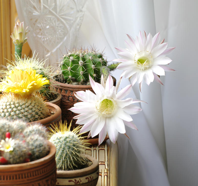 Cactos de florescência foto de stock
