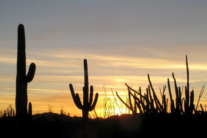 Cactos do Saguaro, da tubulação de órgão e do Ocotillo no por do sol no monumento nacional do cacto da tubulação de órgão, o Ariz fotografia de stock royalty free