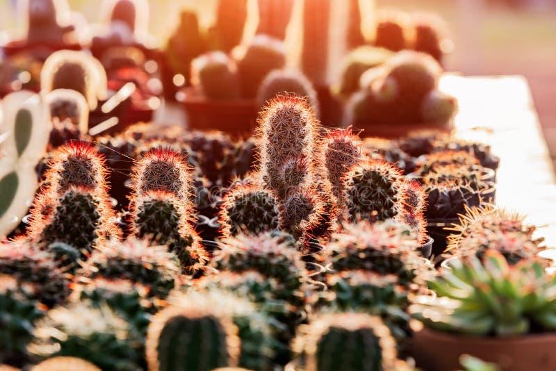 Cactos e plantas carnudas pequenos no florista fotografia de stock