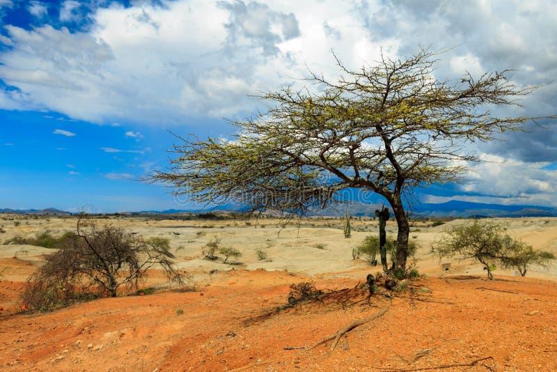 Cactos grandes no deserto vermelho imagens de stock