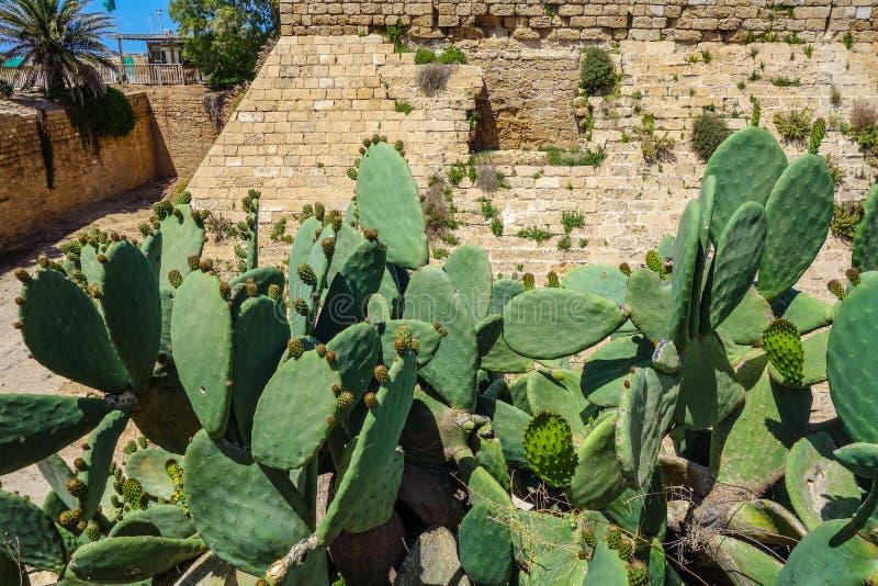 Cactos na frente da parede antiga da fortaleza imagem de stock royalty free