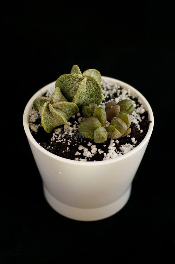 Cactos no potenci?metro branco em um fundo preto Plantas carnudas isoladas Lithops Houseplant verde-claro foto de stock