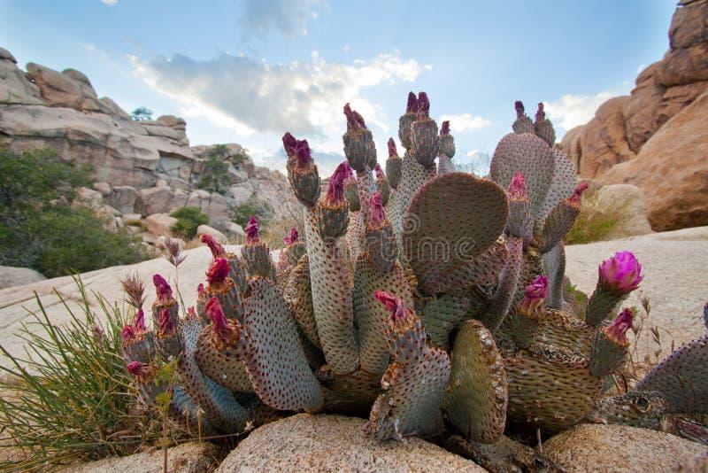 Cactos salvajes rojos florecientes del desierto de Beavertail imágenes de archivo libres de regalías
