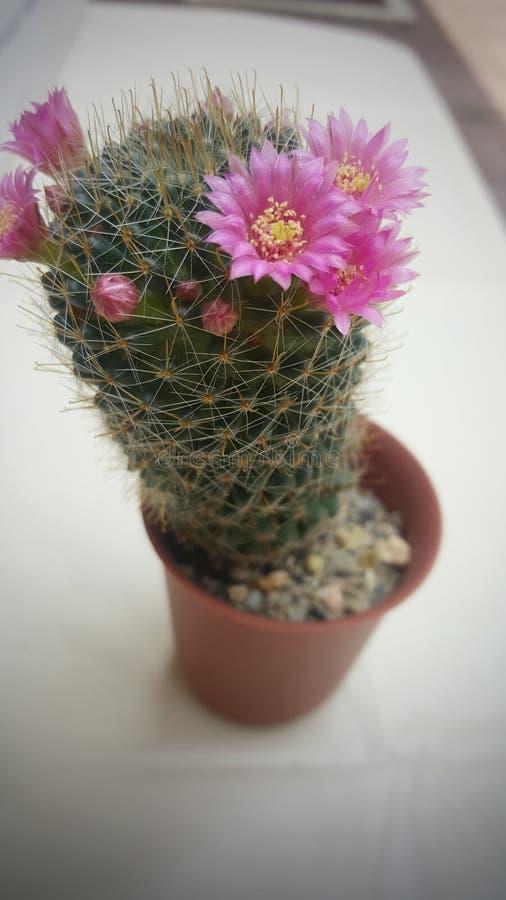 Cactus éclatant images stock