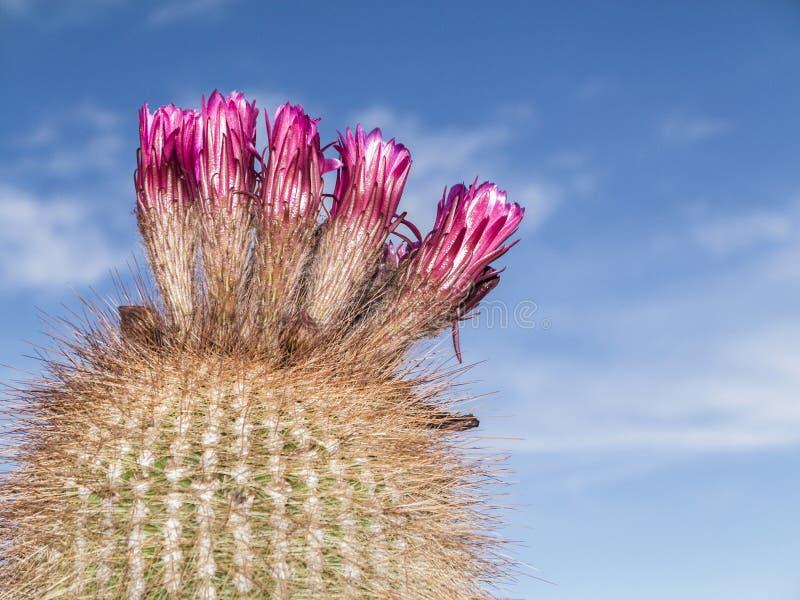 Cactus énorme de Trichoreus se tenant sur Isla Incahuasi à la plaine de sel images stock