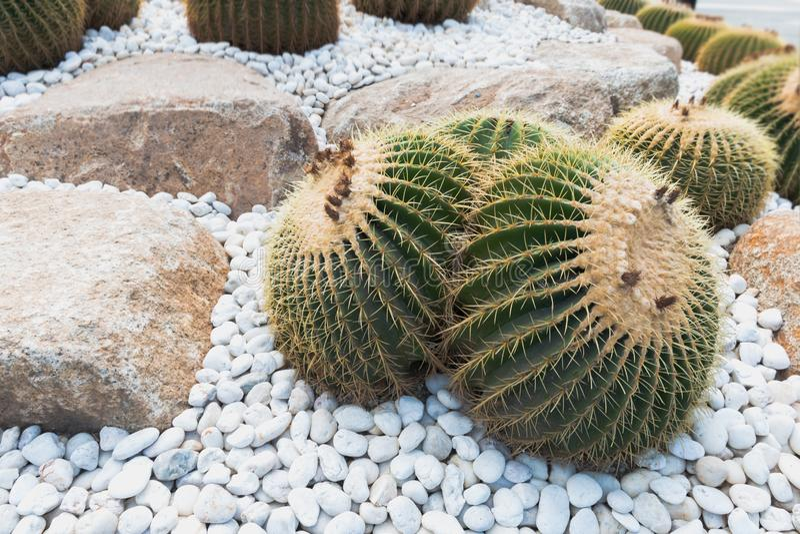 Cactus épineux de grand rond dans un jardin complètement de succulent photos stock