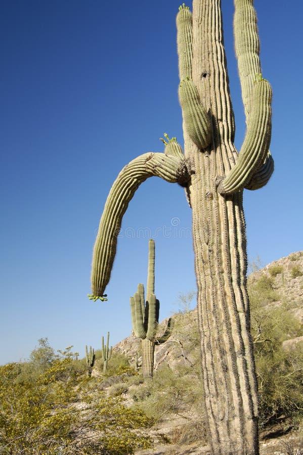 Download Cactus 1 de désert photo stock. Image du centrales, flore - 744924