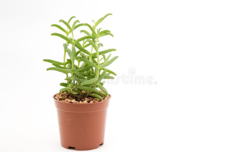 Download Cactus imagen de archivo. Imagen de flor, diseño, potted - 100529285