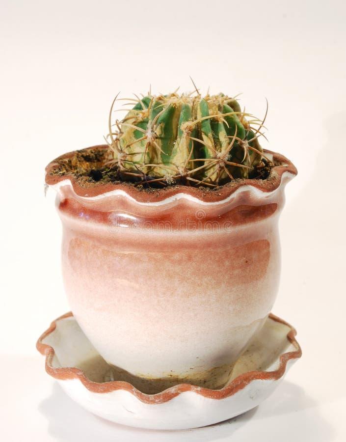 Download Cactus stock afbeelding. Afbeelding bestaande uit decoratief - 10778533