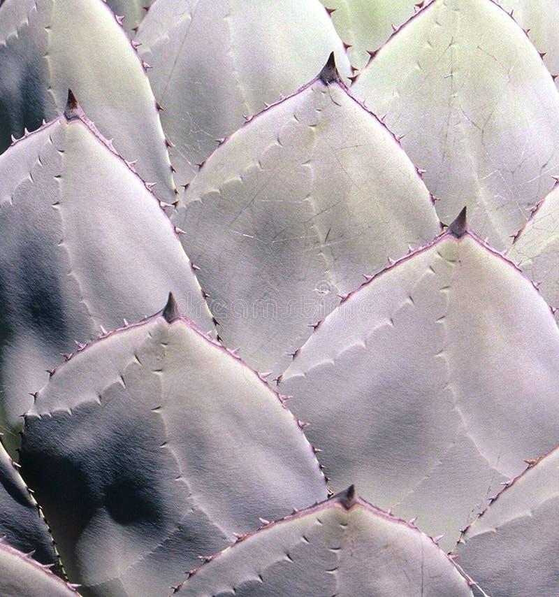 Download Cactus stock photo. Image of cacti, texture, nature, succulent - 116946
