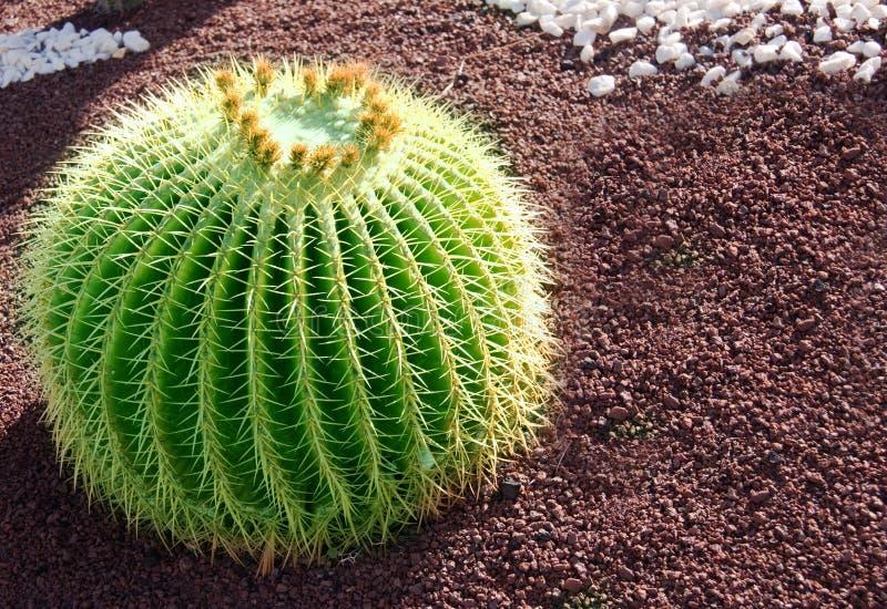 Cactus royalty-vrije stock foto's