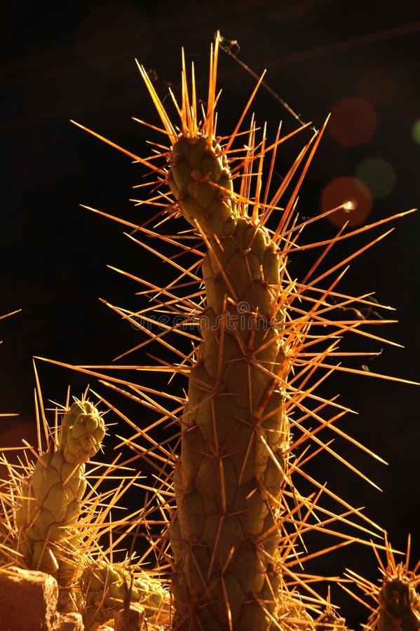 Cactus #2 della lampadina immagine stock