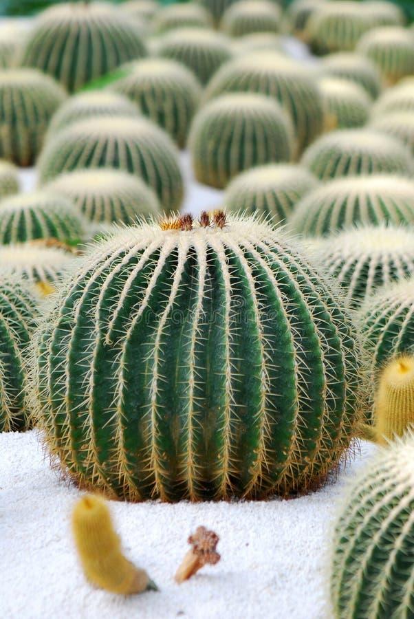 Cactus. A lot of beautiful cactus royalty free stock photo