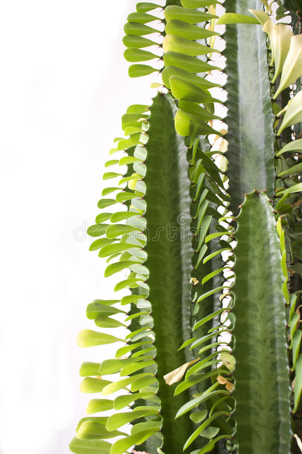 Cactus. Photo detail of cactus on a white background for advertising purposes royalty free stock images