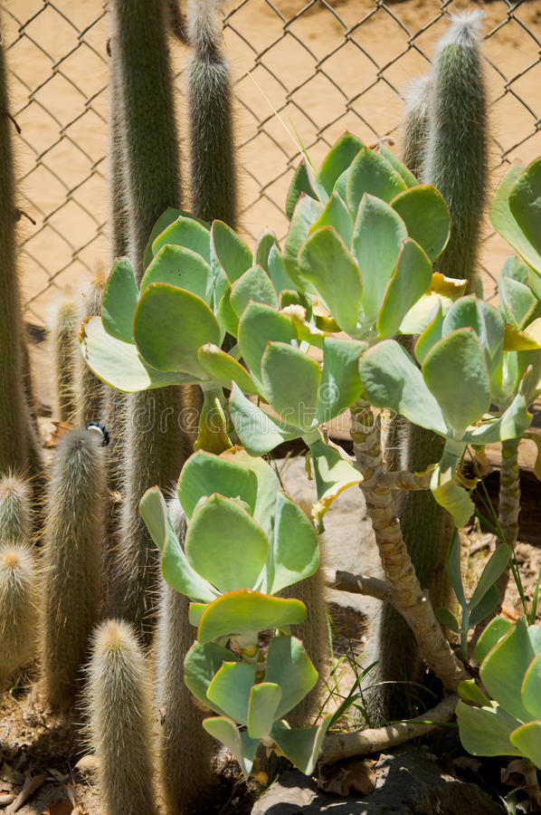 Cactus. At Zoo of Los Angeles. California royalty free stock image