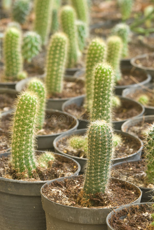Cactus. Green Cactus in tropical garden royalty free stock image