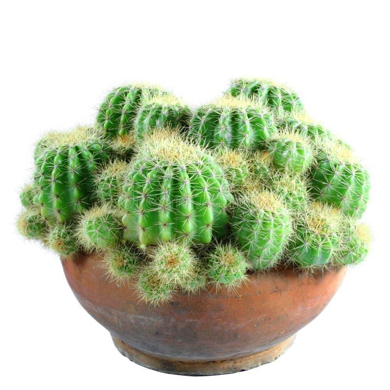 Cactus. Isolated on white background stock images