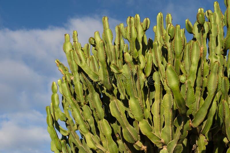 Cactus. Chumbera nopal cactus plant blue sky mediterranean plants stock images