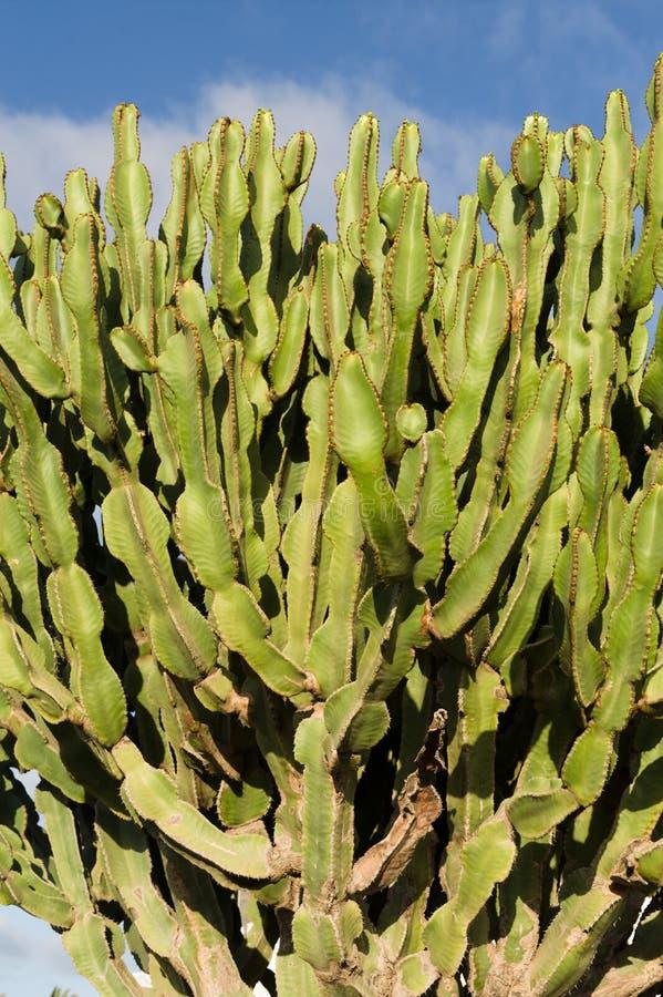 Cactus. Chumbera nopal cactus plant blue sky mediterranean plants royalty free stock image