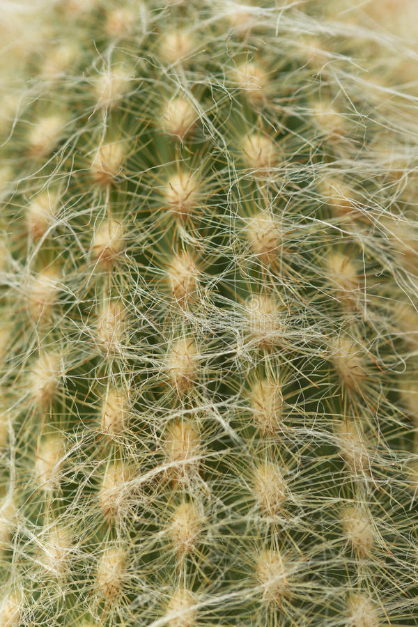 Cactus. Plant with thorns as sharp and beautiful stock image