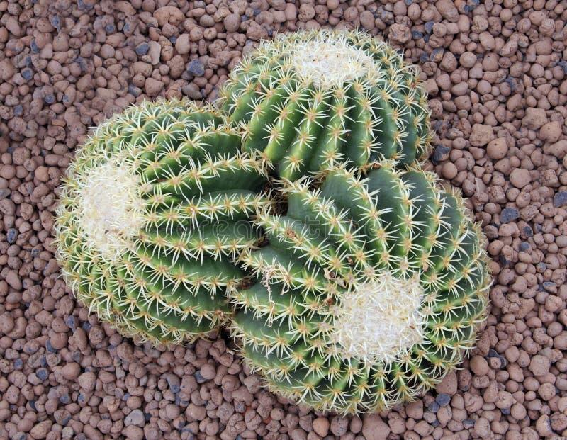 Cactus_1 foto de stock