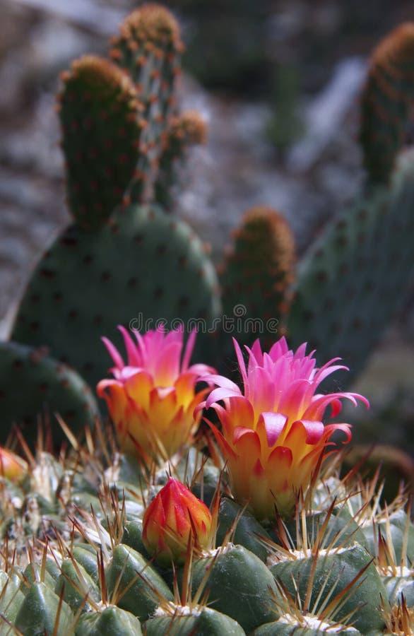 Cactus_8 fotos de stock royalty free