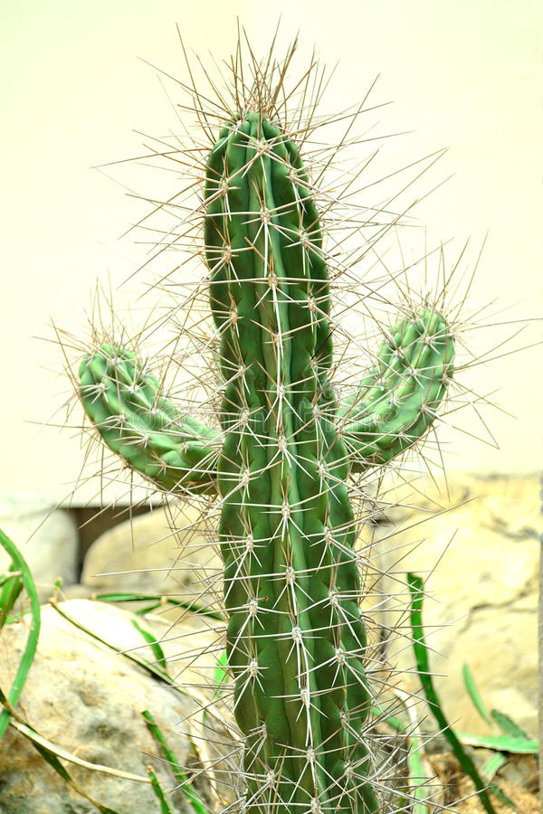 Free Cactus Stock Photo - 41579080