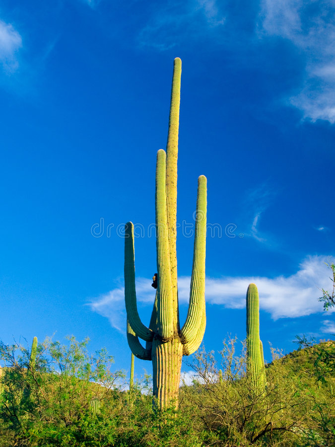 Free Cactus Royalty Free Stock Photography - 4166407